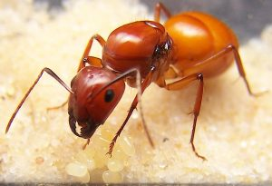 carpenter ants close up