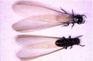 eastern subterranean termite alates