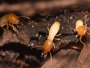 formosan termite soldiers