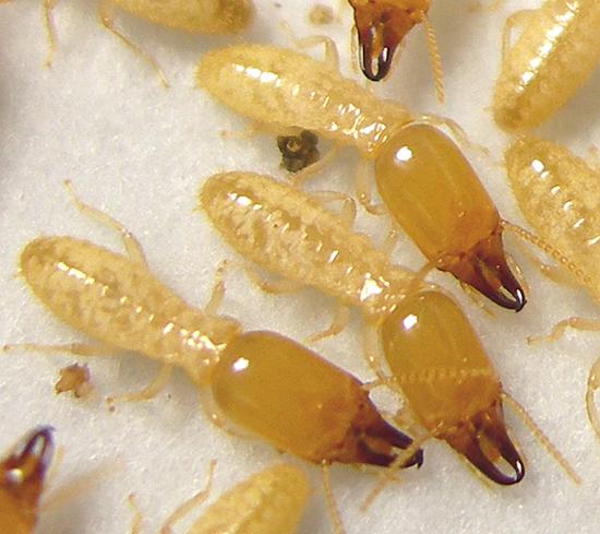 Subterranean Termites Types Identification Amp Treatment