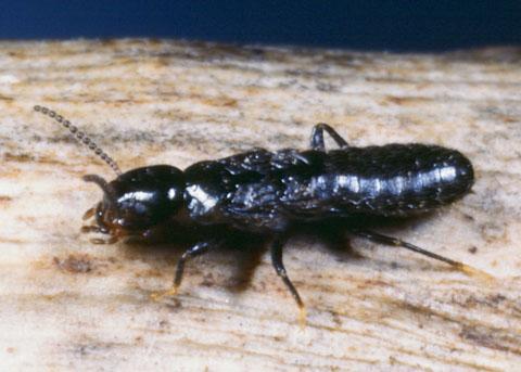 Subterranean Termites Types Identification Treatment